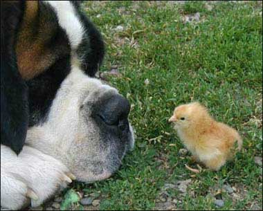 dog and chick