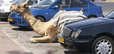 camel in car park